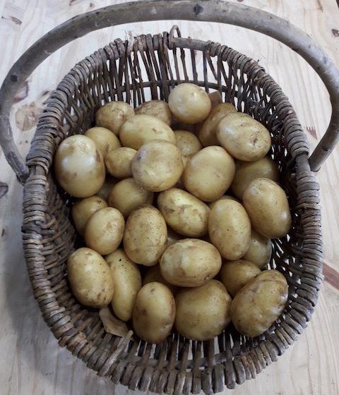 Pommes de terre nouvelles, vente directe à St-Julien-de-Concelles